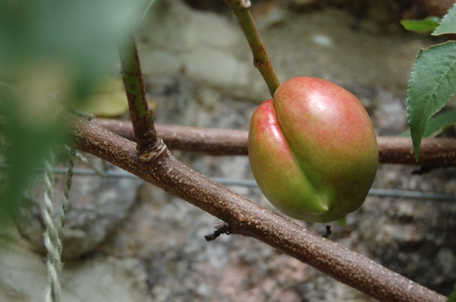 The first nectarines appearing
